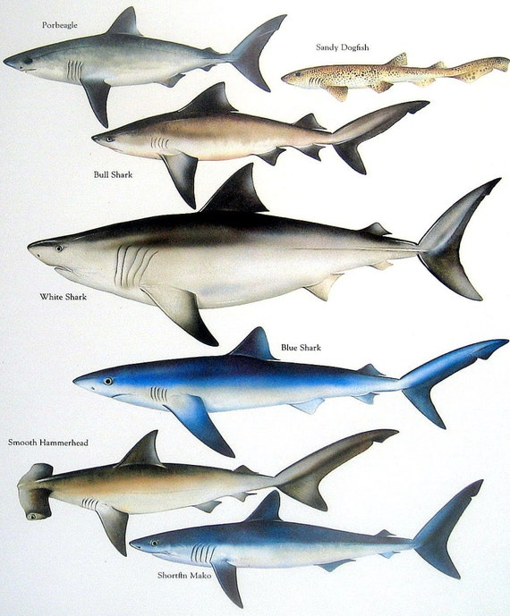 hammerhead shark diagram basking shark diagram   elsavadorla