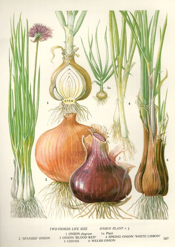 Vintage Botanical Print Antique ONION CHIVES by ...