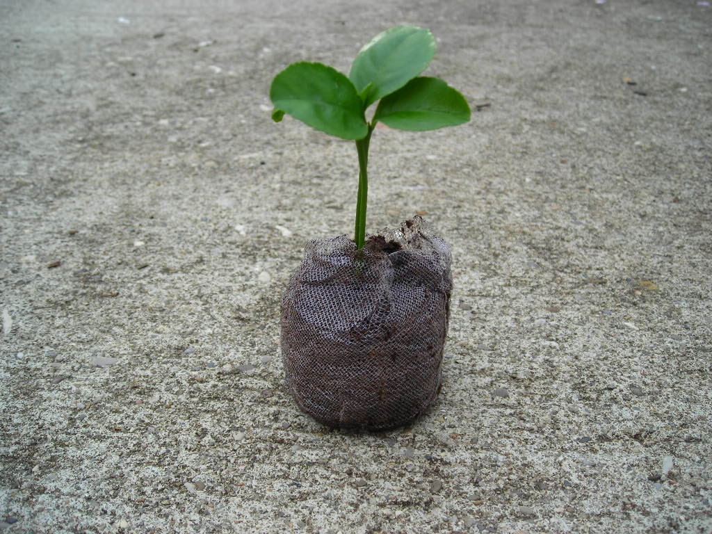 Grow an indoor citrus tree kit mini lemon tree by for What does a lemon tree seedling look like