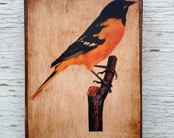 Vintage Bird Balitmore Oriole  Specimen 1904 -  Small Wall Art