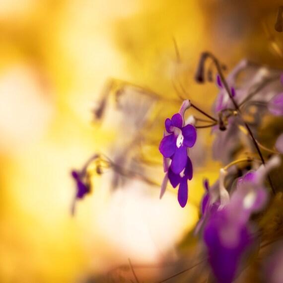 Nature photography, flower photography, purple, aubergine, gold, fine art photograph, plum, modern decor, home decor, phlox flower