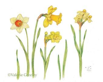 Botanical illustration daffodil print.