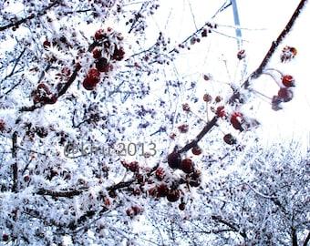 Snow Berries Photograph