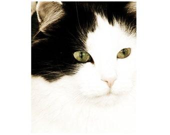 Cat Photography Black White Pet Portrait Feline Photo
