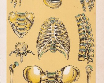 Antique Print of human Skeleton