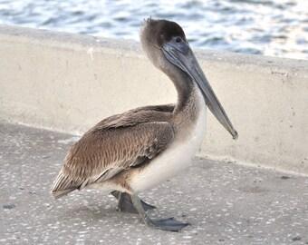 Pelican Pose 8x10
