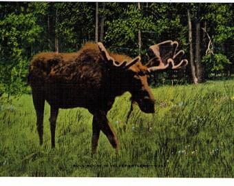 Bull Moose and Black Bear Cub Trio   Vintage Antique Postcard Duet 1940's