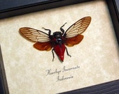 Gift Under 25 Red Devil Cicada Real Framed insect Display 8134