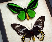 Real Framed Birdwing Butterfly Pair Conservation Shadowbox Display 501