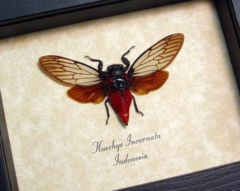 Huechys incarnata - Red Devil Cicada Real Framed insect Display 8134