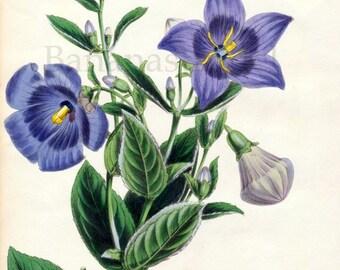1847 Rare Vintage Botanical Print by Joseph Paxton - Platycodon Grandiflorum - Handcolored