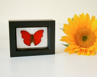 Real Red Framed Butterfly Valentine Gift Natural History