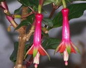 25 Fuchsia Denticulata Seeds (SPECIES)