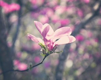 Nature Photography spring macro pastel pink purple Magnolia blooms wall art home decor blossoms romantic for her under 25 - Fine Art Photo