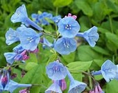 100 virginia blue bells( Mertensia virginica)