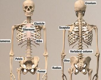 Educational Human Skeleton Wall Stickers