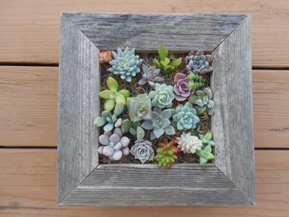 RUSTIC Living Wall Kit, Succulents, Seen In PEOPLE, The Chicago Tribune, Comes With Soil, Moss, Cuttings To Get Started, Housewarming  Gift