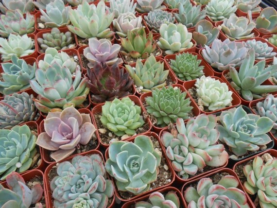 100 Succulents, Weddings, Succulent Favors, Baby Showers And Special Events, Favors, TOP QUALITY