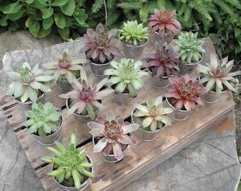 70 Succulent Plants and 70 Silver Pails for Party Favors
