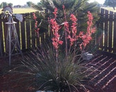Red Yucca...... 50 Seeds .....Hardy....Perennial.....Great Xeriscaping Plant....Free Shipping