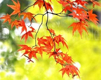 Red Maple Leaves Photography, Vibrant Fall Colors print, Autumn Photo Print, Light Green Trees, Fir Tree, Bokeh, Rust, Tree Photo Print,8x10
