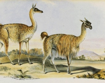 Llama and Antelope ( 2 on one page) CLEARANCE