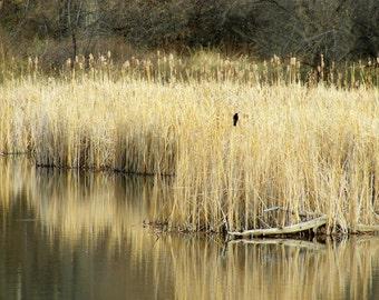 "Bird  ""Redwing Black Bird in the Reeds""   P 41"