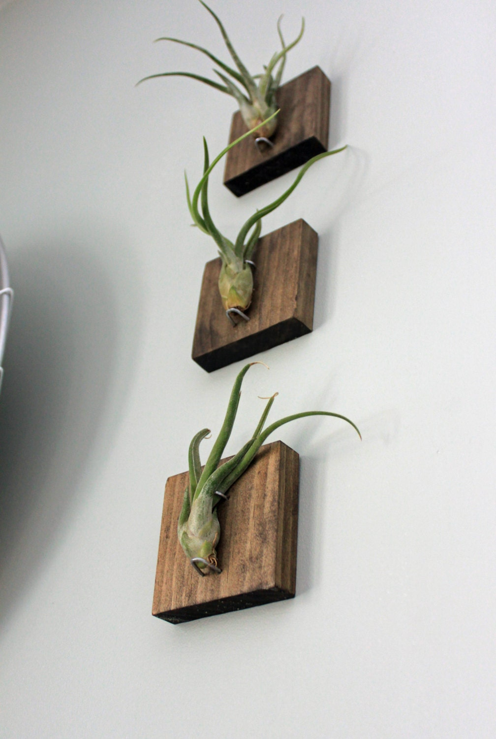 Mounted air plants medusa 39 s head living art by for Air plant art