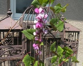 Hyacinth bean vine. Very easy to grow. 10 heirloom seeds.