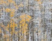 Photograph of autumn trees in snow, Colorado