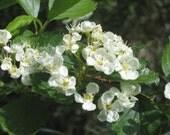 Sacred Plant Wisdom- vol.2 : Hawthorn- Faery Guardian of the Heart