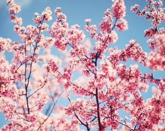 Cherry Blossoms in the Spring - 8x10 Fine Art Photograph