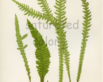 Antique Fern Chromolithograph Original Print - Green Fern Frond - Antique 1874 Edward Lowe Fern - No. 60 - Lacy Summer Fern