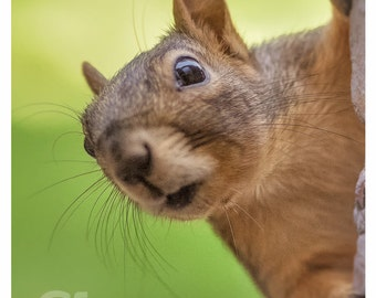 Greeting Card - Fox Squirrel - Nosy Squirrel - Humorous Staring Nosy Personification