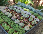 Lorey Wedding Party Gift Favors Tray of 60 Beautiful Succulents in their plastic Pots collection