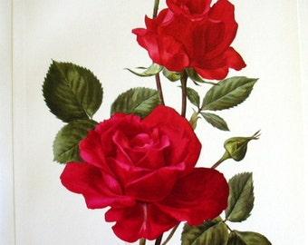 1962 Vintage  Botanical Illustration Print Red Rose New Yorker Shabby Chic Anne Marie Trechslin