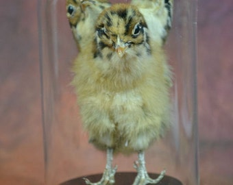 taxidermy of three head freak chicken made by 3 chicken mounted with case