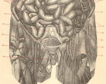 1903 Anatomy, Human Intestines Original Antique Engraving