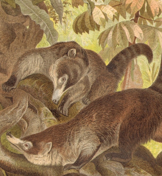 1897 South American or Ring Tailed Coati, Nasua Nasua Original Antique Chromolithograph to Frame