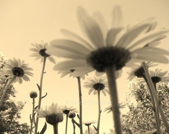 Flower Photos, Shasta Daisies, 8x10 Print, Flower Pictures, Sepia
