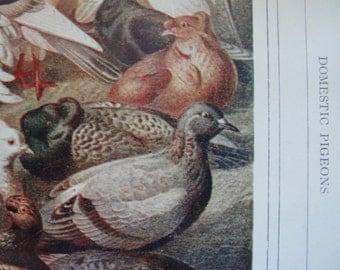 Pigeons Antique 1911 chromolithograph / color print book plate