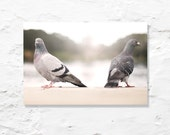 pigeon love photograph fine art photo nature white grey gray cream wall art home decor birds