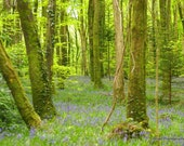 Nature Photograph - Irish Spring Bluebells in Woods, Ireland an artistic print in green and blue 12 x 8