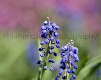 Digital Download - Fort Tryon Purple Hyacinth
