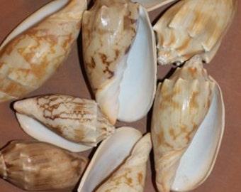 100 Bat Volutes, Shell Craft, Sailor's Valentine, Nautical, Beach Decor