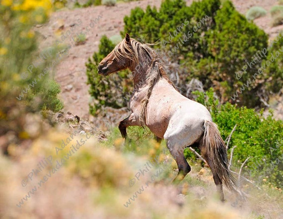 Rojo 1 Strawberry Roan Mustang Stallion by NevadaWilds on Etsy - photo#10