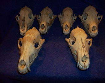 6 Real animal bone Coyote Skull taxidermy head part