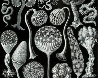 Mushrooms-Black and white art -natural history -Home Decor -Art Treasures-Art Deco-1900