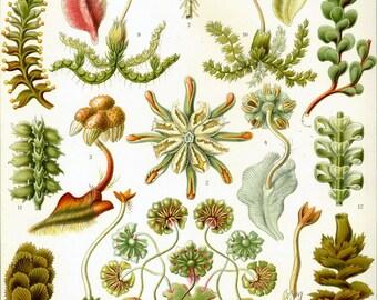 Natural history- plant- moss-Botanical print-Nature