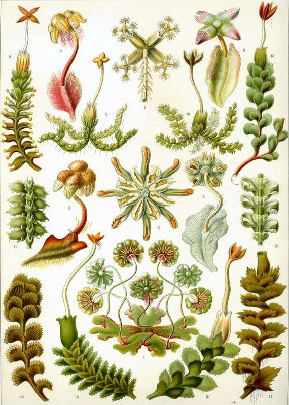Natural History Plant Moss Botanical Print Nature